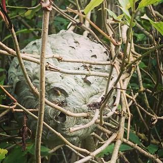 #nature #wasps #nest