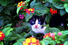 Kitten seeking (Angela Bucci) Tags: flowers light red italy cats pets white black flower color verde green nature leaves animals cat reflex bush nikon kitten colours dof nikkor gatti gattini d3100 elettroshiva