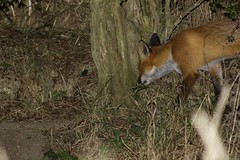 Fox entering a clearing at night. (clicka13) Tags: red nature animal night canon outside mammal photography nocturnal outdoor wildlife watching north hunting east northumberland photograph fox tyneside stalking photographing hedgerow 100d fordley