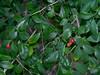 Murraya paniculata, Pallarenda, Townsville, QLD, 07/09/14 (Russell Cumming) Tags: plant weed queensland townsville murraya rutaceae murrayapaniculata pallarenda