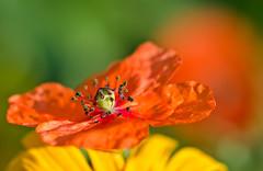 Pretty Poppy. (Omygodtom) Tags: abstract flower detail art texture nature composition yahoo google nikon flickr dof pov explorer perspective poppy wildflower tamron tamron90mm simpleflowers d7000
