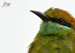 Green Bee-eater (Joybroto Dass) Tags: wild india bird nature beautiful birds animal animals forest photography living raw wildlife jungle species wilderness creature untamed