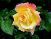 Peace in September ! (Blossom's Mom.(Sheila Hess)) Tags: rose garden flora peace september 2014 abigfave hydridtea