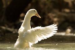 Bathing ducks (Bart Jekel) Tags: canon rhodes sevensprings eptapiges canon60d