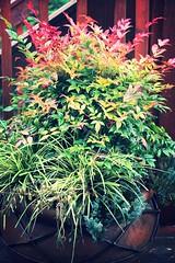 Container Winter 2013 (gremilymcbutler@rocketmail.com) Tags: juniper ornamentalgrass nandina oatgrass berberidaceae nandinadomestica heavenlybamboo variegatedgrass carexphyllocephalasparkler bluejuniper angelicabluespreadingjuniper