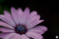 Flower drops (joliencoppens) Tags: morning flower colour macro nature rain photography dewdrops droplets nikon herfst dew raindrops 60mm nikkor f28 regen bloemen raindrop morningdew dauw ochtend bloem regendruppels regendruppel d5200