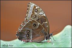 Morpho peleides (alfvet) Tags: macro nature nikon ngc butterflies natura npc vacanze insetti romagna farfalle milanomarittima sigma150 tropicali
