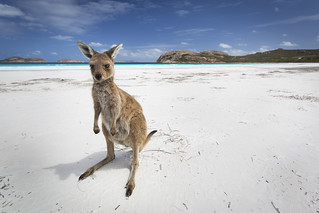 Kangaroo at the white beach and turquoise water of Lucky Bay Australia