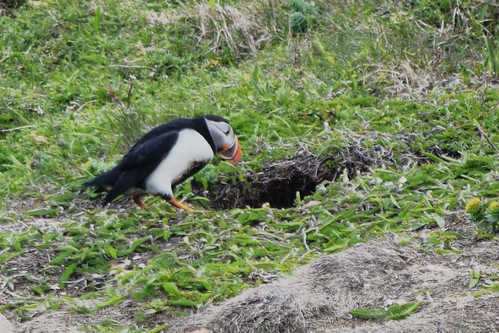 Puffin Walking into its Underground Burrow at Bird Island near Elliston, Newfoundland