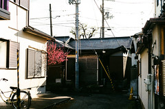 Plum tree (yasu19_67) Tags: plumtree alley sunlight shadow analog film filmism filmphotography leica summicron50mmf2 50mm atmosphere photooftheday osaka japan