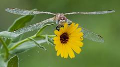 Dew (jrosvic) Tags: dragonfly libélula libellulidae sympetrumfonscolombii anisoptera odonata nikond90 nikon105mmf28vrmicro freehand cartagena murcia spain micro macrofotografía