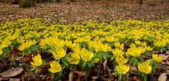Ein gelber Teppich (diwe39) Tags: winterlinge botanischergarten frühling2017