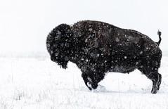 Snow Play - American Bison (BernieErnieJr) Tags: americanbison frontrange greatphotographers teamsony rockymountains bison colorado coloradowildlife wildlife sony70400mmg2 sonya77mkii snow winter jump rockymountianarsenalnationalwildliferefuge commercecity bernie duhamel