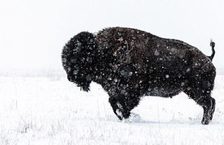 Snow Play - American Bison