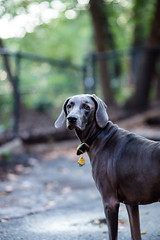 what's up? (VanaTulsi) Tags: vanatulsi weim weimaraner dog blueweim blueweimaraner
