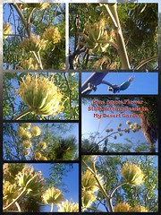 Tequila Agave <<>> Blue Agave Flower Stalk Setting Seeds (Chic Bee) Tags: photostream