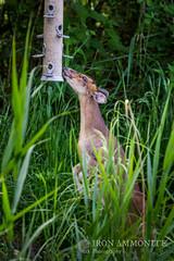Muntjac at bird feeder (Paul Williams www.IronAmmonitePhotography.com) Tags: uk greatbritain mammal britain wildlife deer invasive wickenfen barkingdeer muntiacus muntjacs mastreanideer