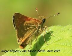 Large Skipper_underwing_FENR