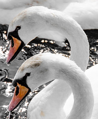 Sympatico (DobingDesign) Tags: white water river swan twins brothers feathers surrey clean swans pure riverthames empathy kingstonuponthames sympatico londonwildlife lordsoftheriver