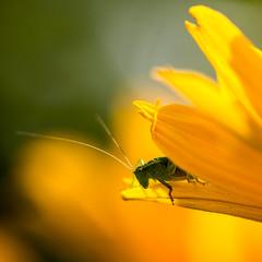 grasshopper (diwan) Tags: flower macro nature yellow canon germany garden eos bokeh natur insects gelb magdeburg squareformat grasshopper blume makro garten insekten 2014 grashpfer canoneos650d