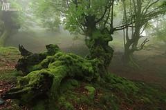 Criaturas del bosque (Hector Prada) Tags: musgo primavera fog forest spring dragon bosque nubes niebla paisvasco basoa lainoa udaberria hectorprada