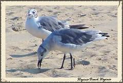 Bird Watching - Virginia Beach, VA (n2photos2009) Tags: ocean summer seagulls beach birds virginia sand gulls feathers virginiabeach rmay n2photos july2014