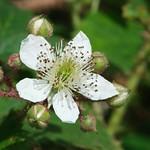 bramble blossum
