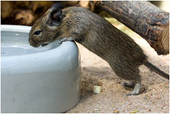 The big thirst (FocusPocus Photography) Tags: animal zoo rodent nager nagetier stuttgart degu tier wilhelma degus octodon commondegu gewöhnlicherdegu
