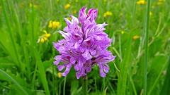Orchis tridentata (upsa-daisy) Tags: