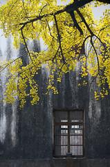 Ink Painting (ckyen.rm) Tags: china autumn window beauty leaves yellow wall outdoors photography nikon day seasons nobody zhejiangprovince nikkor gangnam 70200mm inkpainting fuyang ruralscene ginkgotrees yangjiavillage