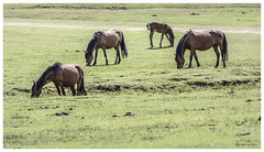 New Forest Ponies (Billy-Fish) Tags: new wood uk trees summer england horses horse nature beauty grass forest woods hampshire pony ponies grazing equine graze foal billyfish