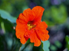 Empress of India nasturtium (MC.202) Tags: flower tropaeolum nasturtium majus tropaeolummajus empressofindia