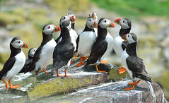 A meeting of Puffins (Kevin Keatley1) Tags: birdsinflight puffins farneislands britishwildlife seabirds coastalphotography cameraprotection cameracovers highspeedphotoraphy kevinkeatley seabirdphotography
