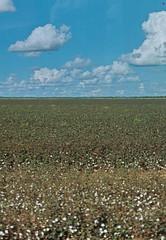 Cotton fields, Bahia (angelegboudreau) Tags: travel blue summer brazil sky sun sunlight plant texture film nature brasil clouds 35mm landscape 50mm colours natural minolta kodak grain naturallight roadtrip bahia grainy angeleboudreau
