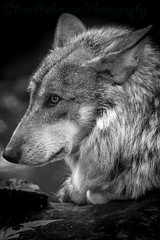 W o l f  I n T h o u g h t s (Chris Robinson Photography) Tags: summer blackandwhite bw animal wolf killer zookeeper wildanimal bwphotography ferocious blackandwhitephotography 2014 meateater lonewolf atthezoo senecaparkzoo ferociousanimal rochesterzoo ef70200mmf4lisusm killerwolf zooography summer2014 atthezootriptothezoo