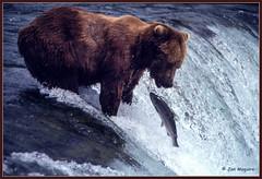 Brown Bear Fishing (maguire33@verizon.net) Tags: bear brownbear katmainationalpark