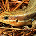 Broad-headed Skink, Female