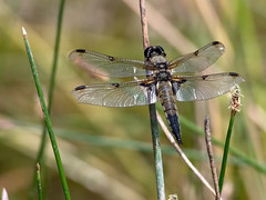 Broad-bodied Chaser, female - 2
