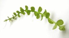 Lamiales: Linderniaceae (Adam Carvalho) Tags: plants adam tank aquatic aqurio carvalho planted carpete plantedaquarium plantado umbrosum lamiales natureaquarium micranthemumumbrosum iwagumi linderniaceae adamcarvalho micranthemumumbrosumjfgmelblake