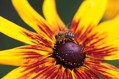 IMG_7832_  Rudbeckia (michal.t.) Tags: coneflowers bee rudbeckia blackeyedsusans rudbekia