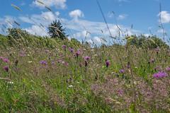 Down in The Meadow (Rob Jennings2) Tags: flower meadow isleofwight wildflowers newtown iow wildflowermeadow