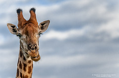 Close up portrait of Giraffe chewing or laughing (danilew) Tags: africa travel autumn portrait sky fall tourism nature animals closeup fauna clouds laughing southafrica outdoors evening daylight nikon scenery wildlife ground nopeople safari adobe journey jungle land april chewing giraffe nikkor creatures mammals landforms beasts excursion mpumalanga gamedrive naturephotography 2014 d300 ruminant giraffacamelopardalis wildlifephotography sabiepark wildlifetourism niksoftware sabisandsgamereserve undomesticatedanimals nikond300 nikon80400f4556 danilew wwwdanilewcom lightroom5 colorefexpro4 photoshopcc2014 80400mmf4556gvrii