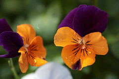 Pretty Violas (crafty1tutu (Ann)) Tags: orange flower macro garden pretty purple viola inmygarden anncameron ilovemypics qualitypixels canon5dmkiii wheelbarrowgarden gettycontributor crafty1tutu naturescarousel canon180mm35lseriesmacrolens