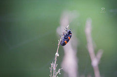Red-Blue Checkered Beetle (Trichodes Nuttali) (| R | R | P |) Tags: wild india district wildlife beetle sanctuary rakesh medak rrp wildlifephotography indianwildlife manjeera canon100400mmf4556l redbluecheckeredbeetle sangareddy canon7d manjirawildlifesanctuary manjirariver rrpphotography rakeshreddyponnala rakeshreddy rakeshponnala manjeerariver manjeerawildlifesanctuary redblackcheckeredbeetle trichodesnuttali