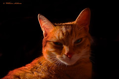 Cat (wil_sul) Tags: orange animal cat nose ginger eyes pussy whiskers tomcat toodark infocus mediumquality 68will