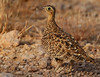 Black-faced Sandgrouse female (Rainbirder) Tags: kenya ngc npc tsavoeast blackfacedsandgrouse pteroclesdecoratus rainbirder