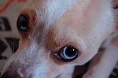 Sky eyes (Pals W) Tags: friends dog baby eye dogs animals puppy eyes nikon babies blueeyes perros animales cutedogs cuteanimals babyanimals nikon5100 babydogs