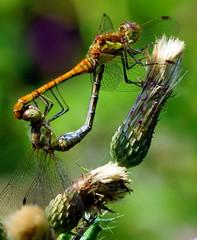 Common Darters (paulinuk99999 (I'm back!!)) Tags: park uk england court dragonfly wildlife royal surrey hampton common darter bushy paulinuk99999 sal70400g