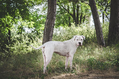 (Katarina Drezga) Tags: dog pets dogs animals perros dogphotography petphotography dogoargentino outdoorphotography nikond3100 nikkor55300mm4556gvr