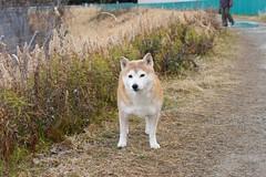 千里川土手の犬 (kimtetsu) Tags: dog animal japan 大阪 日本 osaka 犬 動物 千里川